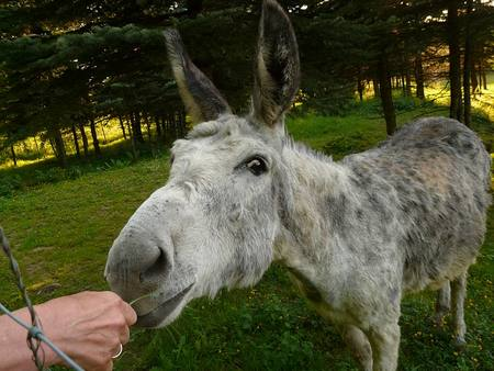 Donkey Eating From A Hand