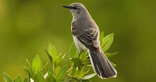 Mocking Bird Green Background