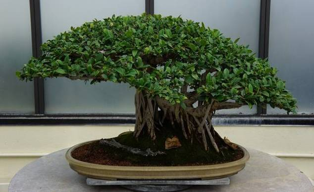 Seducing your man: Bonsai tree on desk