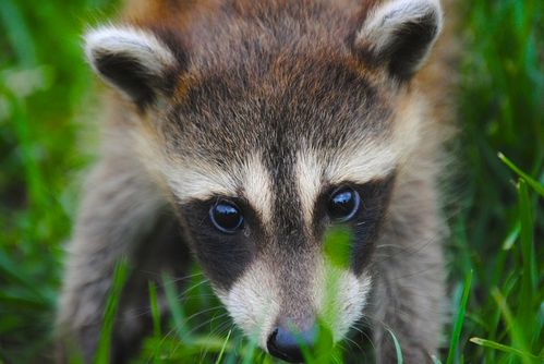 Child: Raccoon in grass